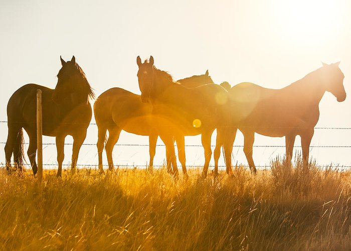 Silhouettes Of Horses Greeting Cards