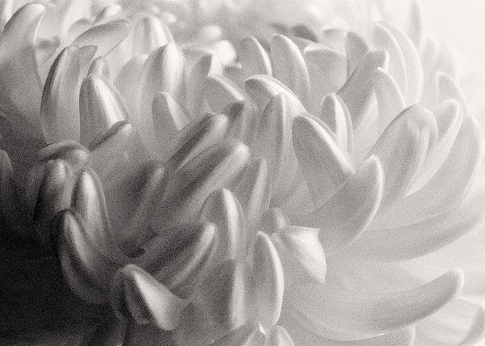 Nature Greeting Card featuring the photograph Ethereal Chrysanthemum by Zayne Diamond Photographic