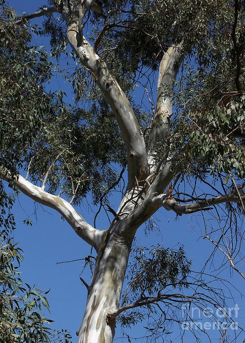 Trees Greeting Card featuring the photograph Eucalyptus by Kathy McClure