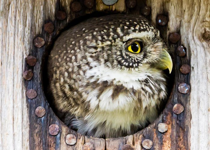 Eurasian Pygmy Owl Greeting Card featuring the photograph Eurasian Pygmy Owl In Profile by Torbjorn Swenelius