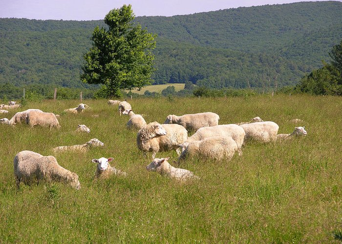 Farms Greeting Card featuring the photograph Ewe's Eye View by Peter Williams