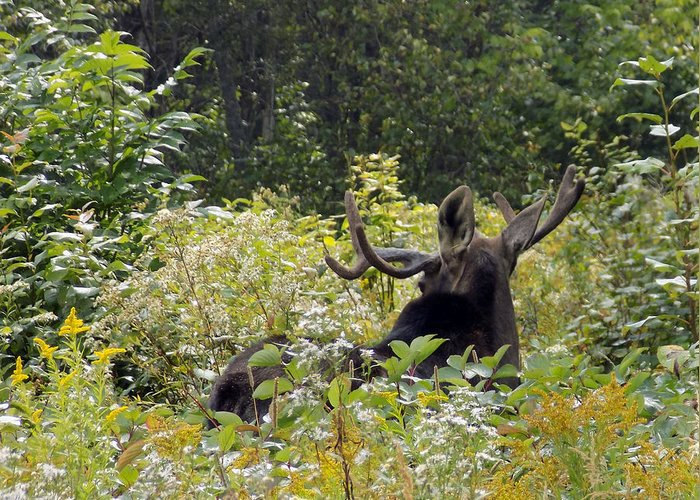 Moose Greeting Card featuring the photograph Exit Stage Right by William Tasker