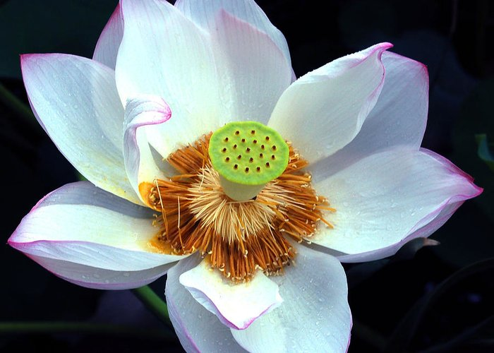 Flower Greeting Card featuring the photograph Exotic Lotus by Blima Efraim
