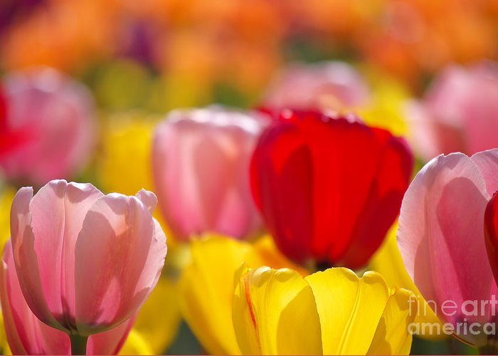 Tulips Greeting Card featuring the photograph Explosion Of Colors by Angela Doelling AD DESIGN Photo and PhotoArt
