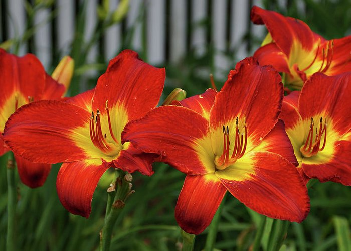 Daylily Greeting Card featuring the photograph Eye Catching by Sandy Keeton