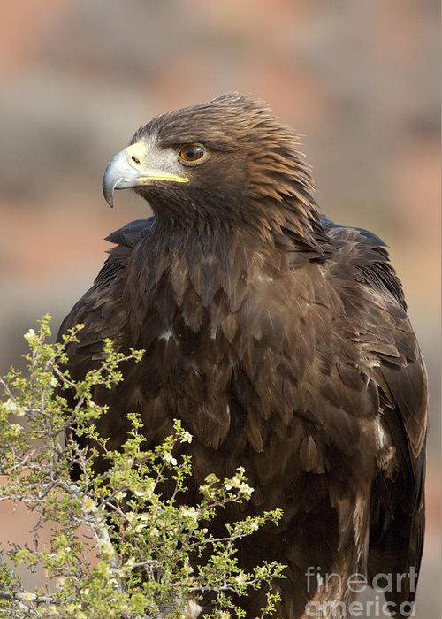 Golden Eagle Greeting Card featuring the photograph Eye Of The Golden Eagle by Sandra Bronstein