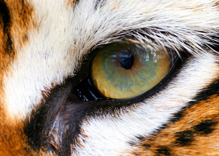 Tiger Greeting Card featuring the photograph Eye Of The Tiger by Helen Stapleton