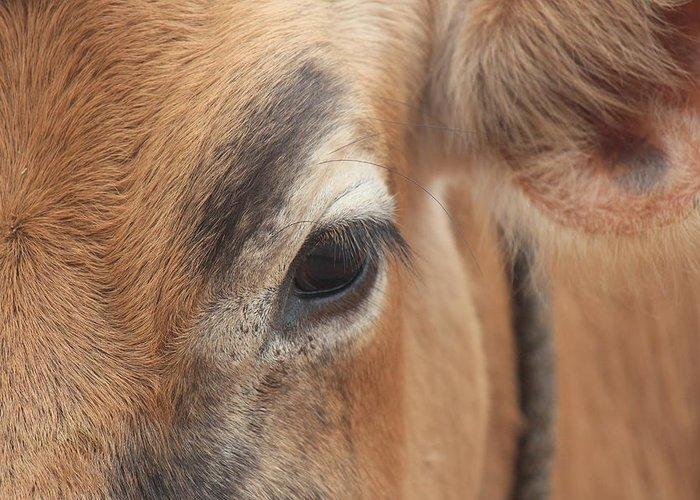 Cow Eyelashes Art Fine Art America
