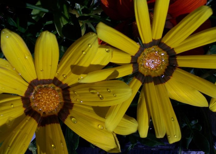 Flowers Greeting Card featuring the photograph Eyes For You by Vijay Sharon Govender