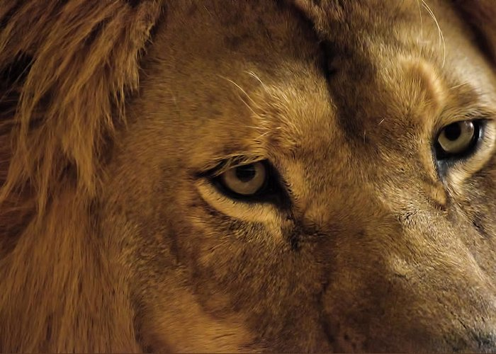 Lion Greeting Card featuring the photograph Eyes Of The Lion Color by Matt Steffen