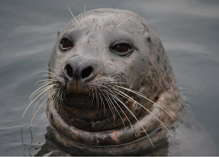Harbor Seal Greeting Card featuring the photograph Face To Face by Richard Andrews