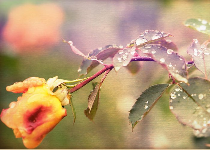 Rose Greeting Card featuring the photograph Fairy Drops by Cathy Donohoue