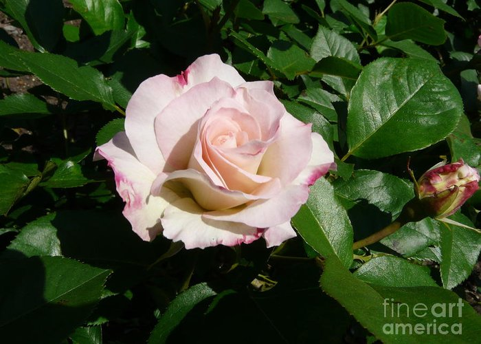 Rose Greeting Card featuring the photograph Fait Accompli by Kendall Eutemey