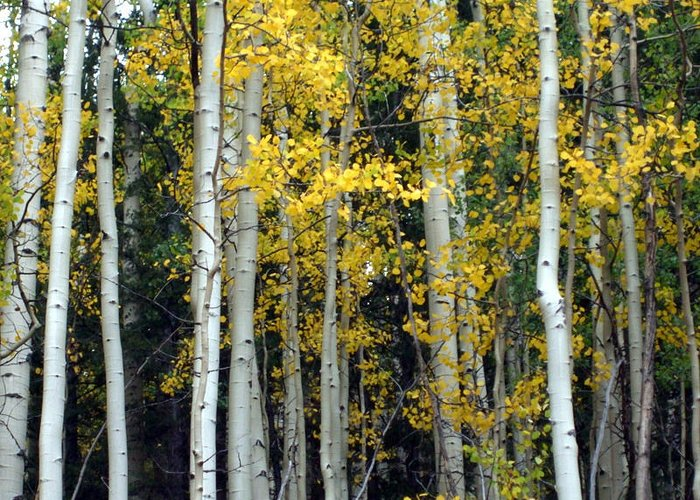Colorado Greeting Card featuring the photograph Fall Aspens by Allison Jones