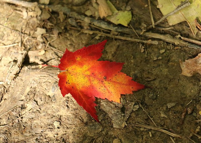 Autumn Greeting Card featuring the photograph Fall Leaf by Christina McNee-Geiger