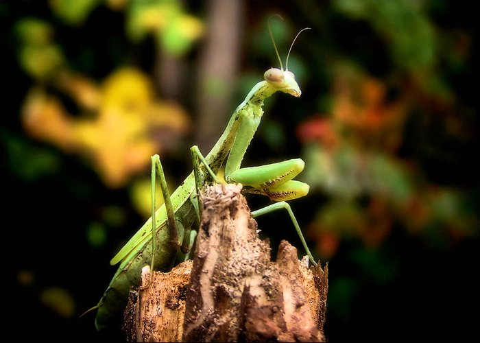Mantis Greeting Card featuring the photograph Fall Mantis by Karen Scovill