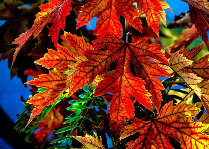 Maple Greeting Card featuring the photograph Fall Reds by Robert Bales