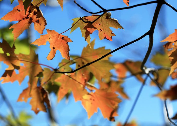 Autumn Greeting Card featuring the photograph Fall Song by Nancy Coelho
