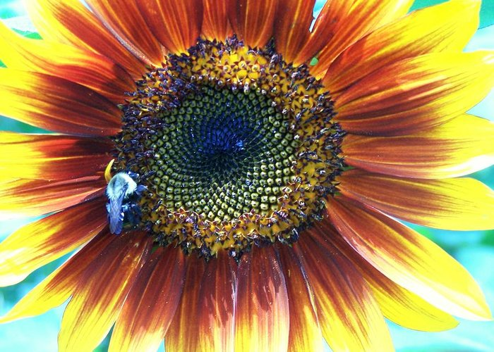 Sunflowers Greeting Card featuring the photograph Fall Sunflower by Vijay Sharon Govender