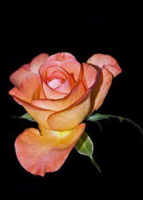 Roses Greeting Card featuring the photograph Falling Apart by Jacqueline Lewis