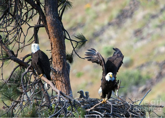 Eagles Greeting Card featuring the photograph Family Of Four by Mike Dawson