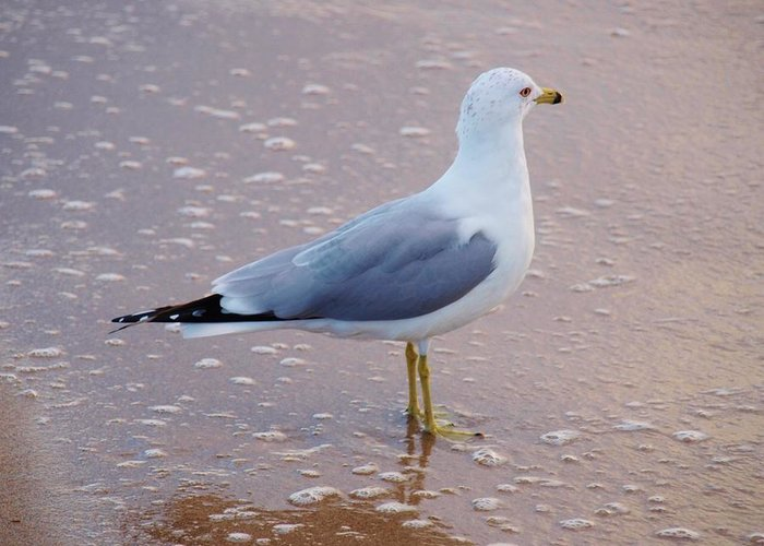 America Greeting Card featuring the photograph Fancy Gull by E Luiza Picciano