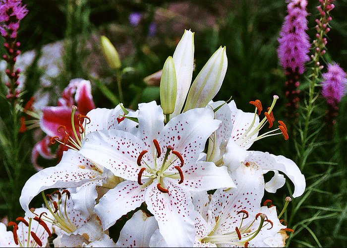 Summer Greeting Card featuring the photograph Fancy White Lily In Garden by Roger Soule