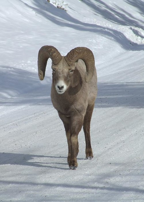 Bighorn Sheep Greeting Card featuring the photograph Farewell To The King by Tiffany Vest