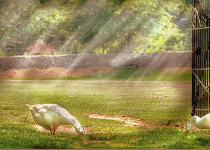 Savad Greeting Card featuring the photograph Farm - Geese - Birds Of A Feather - Panorama by Mike Savad