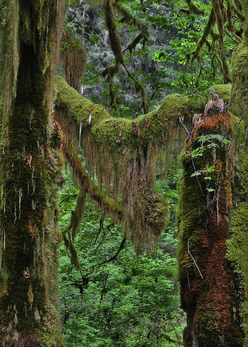 Rainforest Greeting Card featuring the photograph Fascinating Hoh Valley - Hoh Rain Forest Olympic National Park Onp Wa Usa by Christine Till