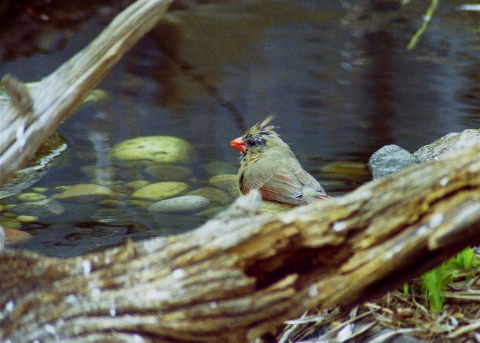 Female Greeting Card featuring the photograph Female Cardinal by Michael Peychich