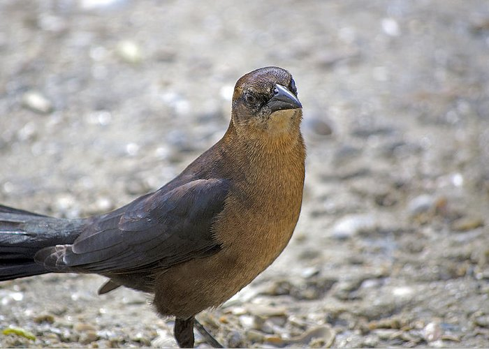 Grackle Greeting Card featuring the photograph Female Grackle With Attitude by Kenneth Albin