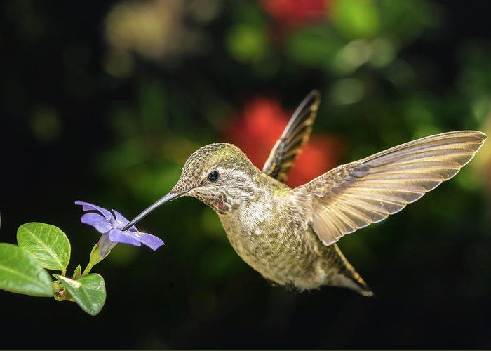 Anna Greeting Card featuring the photograph Female Hummingbird And A Small Blue Flower Left Angled View by William Freebilly photography