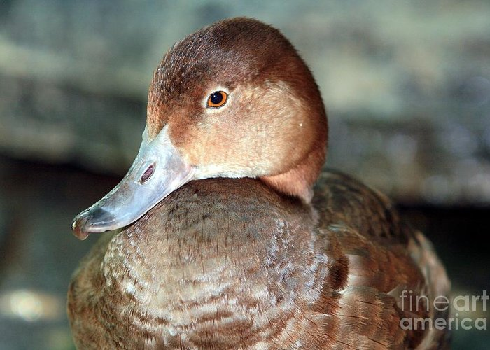 Duck Greeting Card featuring the photograph Female Redhead Duck by Randy Matthews