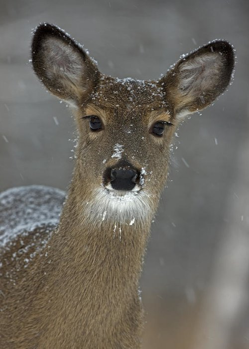 Day Greeting Card featuring the photograph Female White-tailed Deer, Odocoileus by John Cancalosi