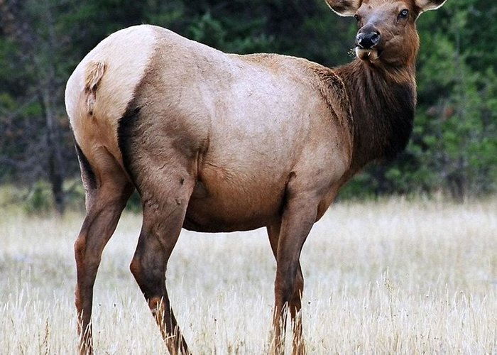Elk Greeting Card featuring the photograph Feme Elk by Tiffany Vest
