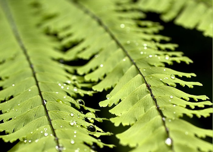 Ferns Greeting Card featuring the photograph Fern by Jessica Wakefield