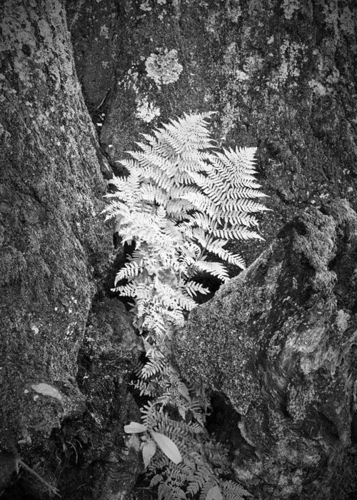 Fern Greeting Card featuring the photograph Fernglow by Harry H Hicklin