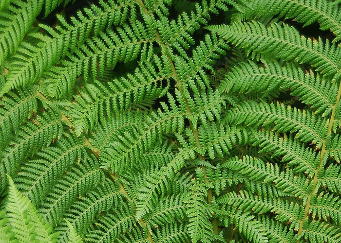 Fern Greeting Card featuring the photograph Ferns Au Naturale by Suzanne Gaff