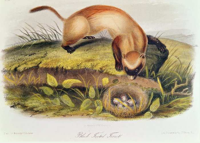 Black-footed Ferret From Quadrupeds Of North America (1842-5) By John James Audubon (1785-1851) Greeting Card featuring the painting Ferret by John James Audubon