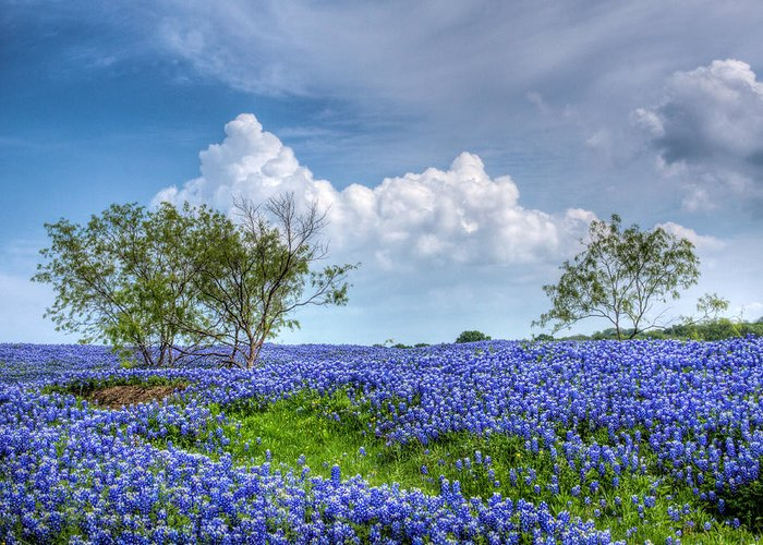 Bloom Greeting Card featuring the photograph Field Of Texas Bluebonnets by David and Carol Kelly