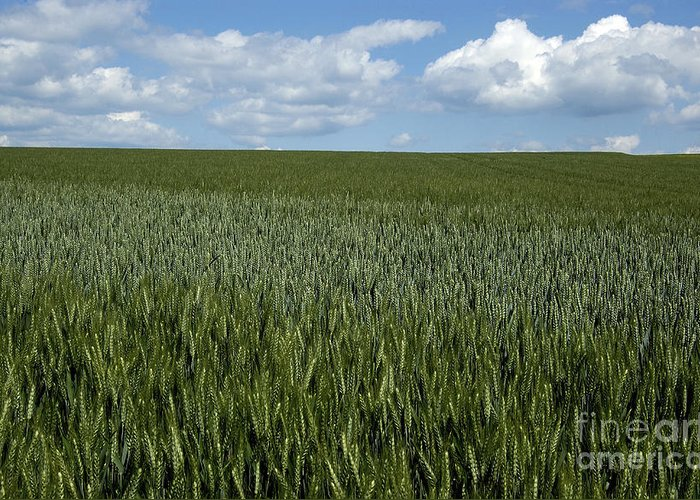 Wheat Greeting Card featuring the photograph Field Of Wheat by Bernard Jaubert
