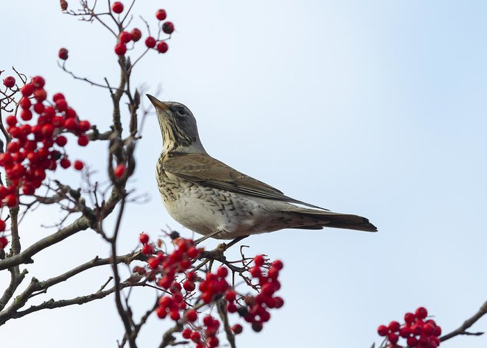 Fieldfare Greeting Card featuring the photograph Fieldfare - 2 by Chris Smith