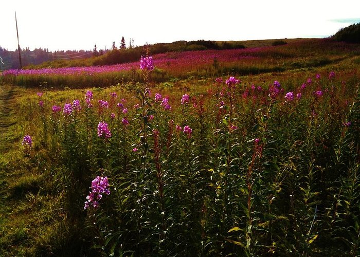 Fireweed Greeting Card featuring the photograph Fields In Pink by Lori Mahaffey
