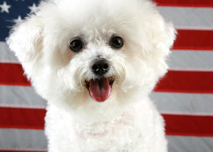 America Greeting Card featuring the photograph Fifi Loves America by Michael Ledray
