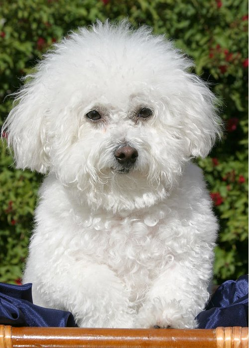 Animal Greeting Card featuring the photograph Fifi The Bichon by Michael Ledray