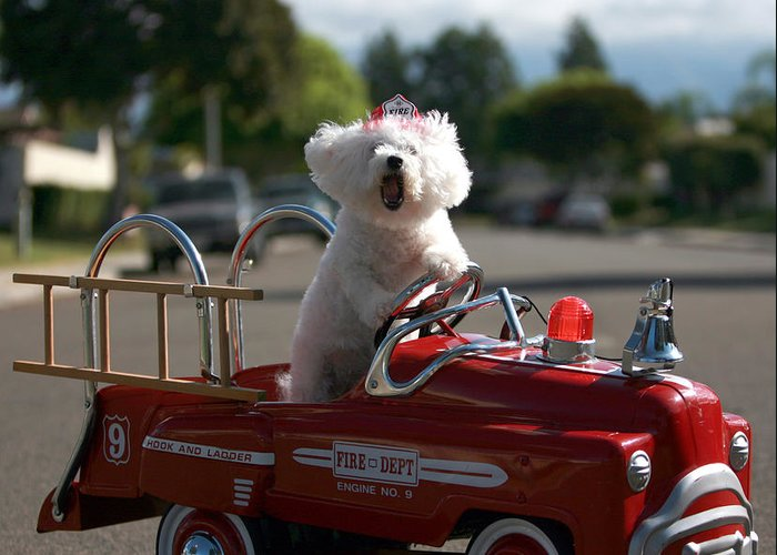 Fifi The Bichon Frise Greeting Cards
