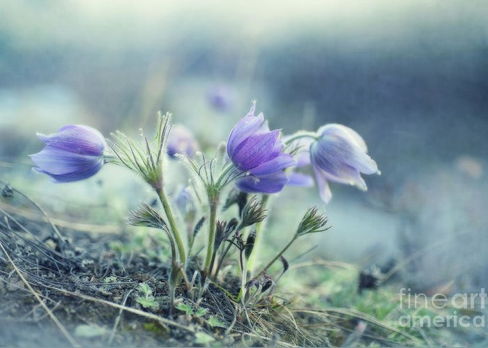 Common Pasque Flower Greeting Cards