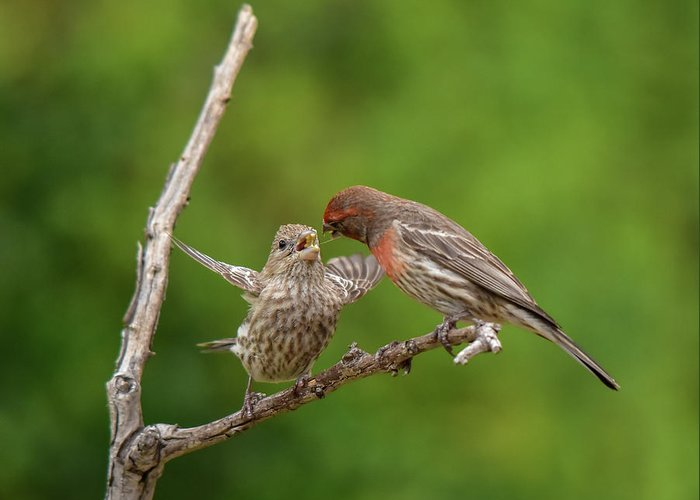 Linda Brody Greeting Card featuring the photograph Finch Feeding Time I by Linda Brody