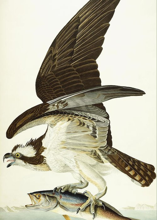 Osprey Drawings Greeting Cards
